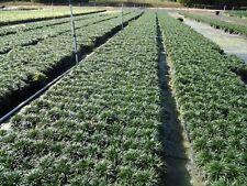 DWARF MONDO, MINI MONDO, SHORT, EVER GREEN GRASS, 1040 bare roots (pips)