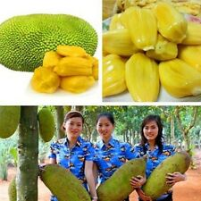 "World Largest Tree Fruit-""Honey""-Jackfruit Seeds  Unique Tropical fruit seeds"