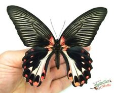 Scarlet Mormon butterfly Papilio rumanzovia SETx1 FM taxidermy art design frame