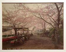 JAPON: SAKURA en fleurs. NOGE YAMA. Photo XIXème aquarellée. Vintage.