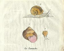 Stampa antica LUMACA CHIOCCIOLA SNAIL Helix Cosmorama 1839 Old antique print