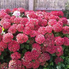 10 Stück Hydrangea Macrophylla Hortensie Rote Blüten, Bauernhortensie in rot.