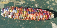 Corn Aura - A Beautiful Multicolored Corn Variety!!! - 5 Seeds