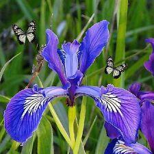Wild Iris Fragrance Oil 1/2 oz bottle For Candle Soap Perfume Making