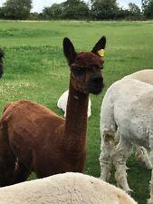Alpaca PIERNAS Y Cuello De Polar 100% Para Spinning O fieltrar 1 Kg Marrón Oscuro