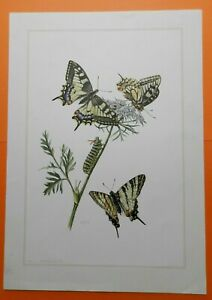 Schwalbenschwanz Papilio machaon Schmetterling  Farbdruck 1956 Ritterfalter