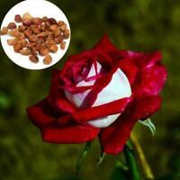 20Pcs Schöne Red & White Osiria Ruby Rose Blumensamen Gartenpflanze Sell