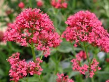 Centranthus ruber coccineus JUPITER'S BEARD RED FLOWERS Seeds!