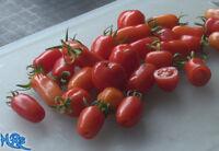 Litchi Tomato SeedsSolanum sisymbriifolium10 seeds HRSeeds.com