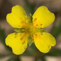 < die Blutwurzel, auch Bärwurz genannt, eine sehr schöne, wilde Heilpflanze.