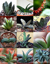 EXOTIC GASTERIA MIX rare flowering living stones cactus succulents seed 10 seeds