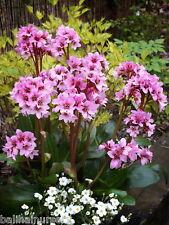 3 New Bergenia Dark Damsel soft pink flowers garden perennial plant fully hardy