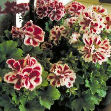 BUY 3 GET 2 FREE Geranium 'Washington Aztec F1' 10Pcs Seeds Bonsai Pelargonium