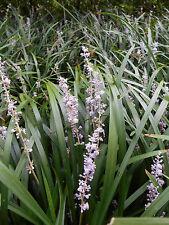 20 Colorful Border Lilies (liripipe) Spread quickly