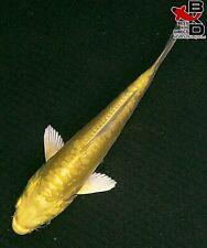 "New listing 4"" Doitsu Yamabuki Ogon Live Koi Fish Pond Garden Bkd"