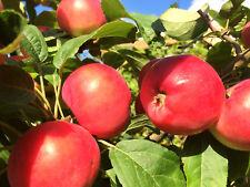 Miniapfel Kitajka Kerr,Sibirische Renette,Kitaika Apfel, Китайка Керр