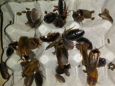 Dubia Roaches Starter Colony Breeding Adults! Pregnant Females! 20 F/ 10 M