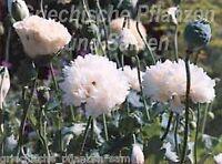 🔥 Mohn white cloud 100 Samen gefüllte Blüte weiß **** Papaver