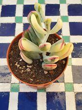 Cotyledon orbiculata var dinteri variegado Korean 10 cm -suculenta/succulent-