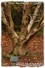 "Betula alleghaniensis ""abedul amarillo » [ Prov: Reino Unido ] 100 + Semillas"