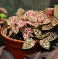 Hypoestes phyllostachya 'Pink Splash' (Polka Dot Plant)   10 - 50 Fresh Seeds 🌱