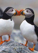 Atlantic Puffins Kissing, Machais Seal Island, Maine, 11 x 14 Print