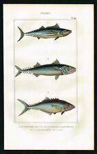 1844 Fishes, Skipjack Tuna, Mackerel, Hand-Colored Antique Print - Lacepede