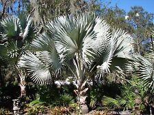 *UNCLE CHAN*5 seed Bismarckia nobilis Silver palm BISMARK fresh High Quality2018