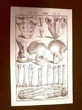 Ossa umane #1 Tavola anatomica Litografia Giulio Cesare Casseri 1627 Ristampa