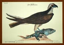 Gravure Ornithologie Oiseau RAPACE LE FAUCON PECHEUR