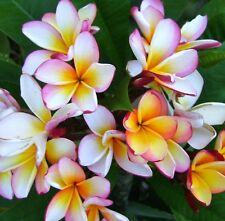 PINK CHEEKS FRANGIPANI Plumeria rubra scented flowers plant in 180mm pot