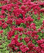 SEDUM - MIX - 10 live PLANTS - Stonecrop, Low Groundcover - GroCo Plants USA