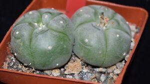 choice Ariocarpus Williamsii cactus/succulent