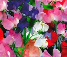 Royal Family Sweet Pea Vine - 10 Seeds Beautiful Bright Color Mix Comb S/H