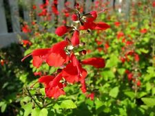 50 Salvia Seeds Texas Sage Lady In Red FLOWER SEEDS