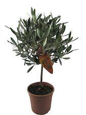 Olivenbaum, Oliven Stamm (Olea europaea) 60-65cm