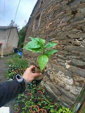 Asimina triloba, Asiminier trilobé, Paw paw, 10 jeunes plants