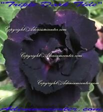 "ADENIUM OBESUM DESERT ROSE TRIPLE FLOWERS "" TRIPLE DARK TIDE  "" 20 seeds Hybrid"