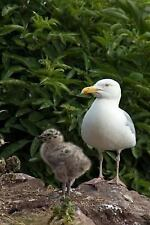 Herring Gull Mother with Her Baby Chick Bird Journal : 150 Page Lined.