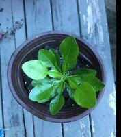 """Kaffir Lime tree grown from seed,Citrus Hystrix,Makrut Lime 10""""-1ft+ , US seller"""