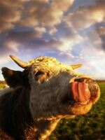 ART PRINT POSTER PHOTO ANIMAL COW LICK CATTLE HEAD LFMP0459