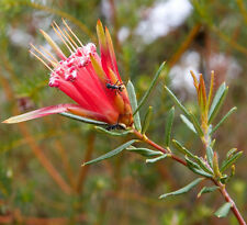 Mountain Devil (Lambertia Formosa) - Seeds