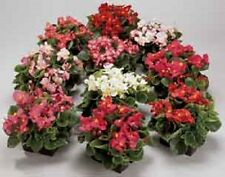 30+ GORGEOUS BEGONIA AMBASSADOR MIX FLOWER SEEDS  /  ANNUAL