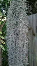 30 grams+,Air Plant,Old mans beard,Spanish Moss,Tillandsia Usneoides,Fine leaves