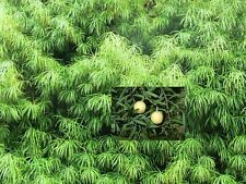 Podocarpus Falcatus - Yellowwood - Rare Tropical Plant Tree Seeds (5)