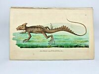 Basilisk - 1783 RARE SHAW & NODDER Hand Colored Copper Engraving