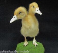 Two Headed Yellow Duckling Bird Taxidermy Mount Sideshow Gaff