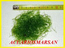 Macro alga Chaetomorpha .Elimina los nitratos. Acuario marino.