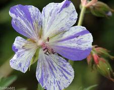Pack of 12 'Splish Splash' Geranium Pratense Striatum Hardy Cranesbill Seeds