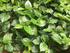 "20 Cuttings 6"" EACH  Piper Lalot Lolot Sarmentosum  Culinary Spice Plant"